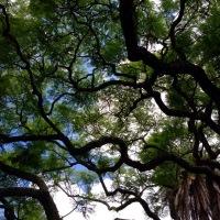 Jacaranda shade