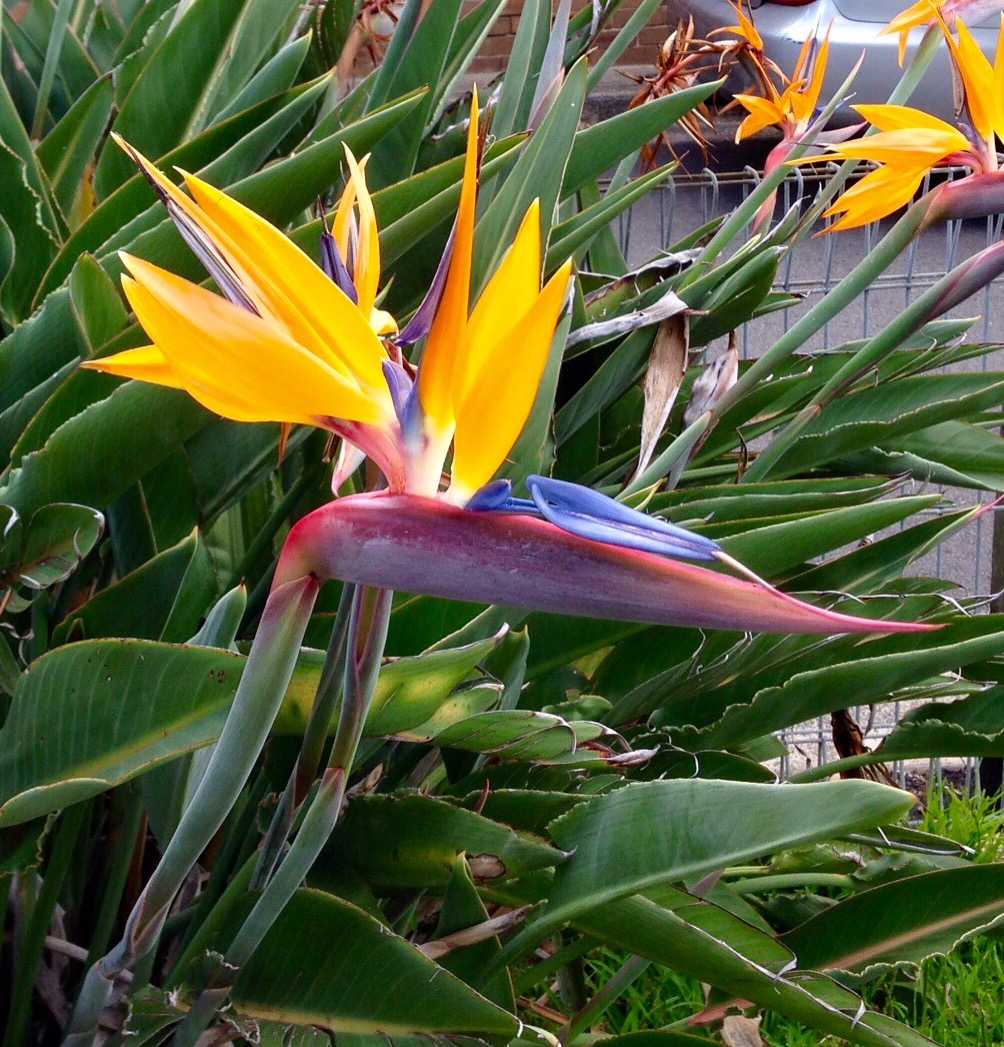 Easter flower theinfp birds of paradise also known as crane flowers is one of the most beautiful exotic flowers birds of paradise are native to south africa izmirmasajfo