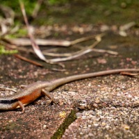 Closed-litter Rainbow Skink