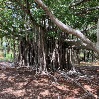 Aerial roots